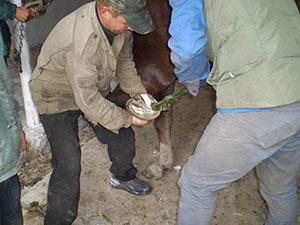 Розчищення копит у коней